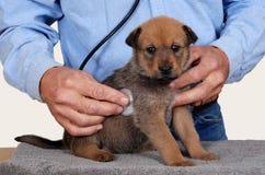 Chiot au vétérinaire Photos libres de droits