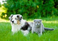 Chiot australien de berger et chat écossais se trouvant sur l'herbe verte Photographie stock