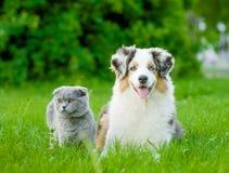 Chiot australien de berger et chat écossais se trouvant sur l'herbe verte Images libres de droits