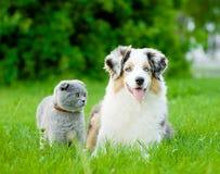 Chiot australien de berger et chat écossais se trouvant sur l'herbe verte Photo stock