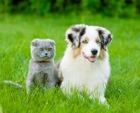 Chiot australien de berger et chat écossais se trouvant sur l'herbe verte Photos stock
