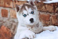 Chiot aux yeux bleus mignon d'un chien de traîneau sur un fond de mur de briques Photos stock