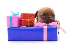 Chiot avec des cadeaux photo stock