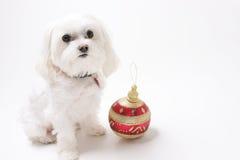 Chiot avec des ornements de Noël Photo libre de droits