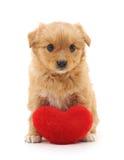 Chiot avec le coeur de jouet Images stock