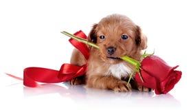 Chiot avec un arc rouge et une rose. Image libre de droits