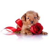 Chiot avec un arc rouge et une rose Image stock