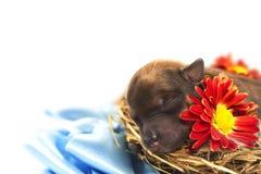 Chiot avec une fleur Photos libres de droits