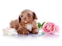 Chiot avec une rose Photos stock
