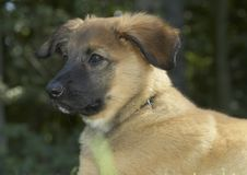 Chiot belge adorable de berger Photos stock