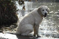 Chiot blanc Photographie stock libre de droits