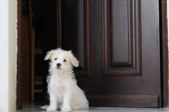 Chiot blanc image stock