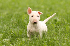Chiot blanc de Bullterrier Photos libres de droits