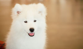 Chiot blanc de chien de Samoyed Photos libres de droits