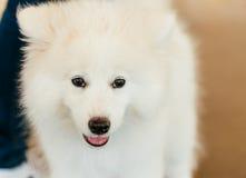 Chiot blanc de chien de Samoyed Image libre de droits