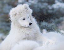 Chiot blanc de chien de Samoyed Photographie stock libre de droits