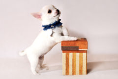 Chiot blanc de chiwawa avec le boîte-cadeau Photographie stock libre de droits
