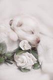 Chiot blanc de sommeil adorable Photo stock