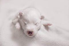 Chiot blanc de sommeil adorable Image stock