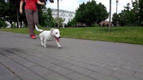 Chiot blanc de terrier de Jack Russel en parc clips vidéos
