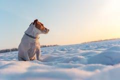 Chiot blanc de terrier de Russel de cric sur le champ neigeux photo libre de droits