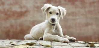 Chiot blanc mignon photographie stock libre de droits