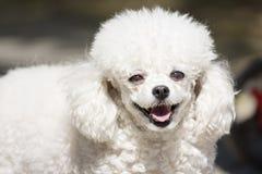 Chiot blanc mignon Photo stock
