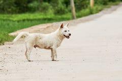Chiot blanc mignon en Asie Images libres de droits