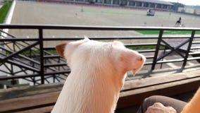 Chiot blanc regardant ? la concurrence de dressage de concours hippique banque de vidéos