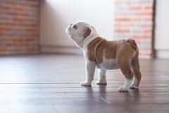Chiot blanc rouge de sommeil drôle de chien anglais de taureau près de mur de briques et sur le plancher regardant à l'appareil-p Photo stock