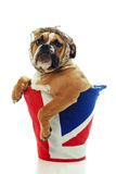 Chiot britannique de bouledogue Photo stock