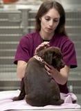 Chiot brun chocolat de laboratoire au vétérinaire photos stock