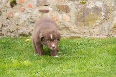 Chiot brun curieux dans le jardin Image stock