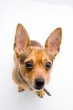 Chiot brun pedigreed mignon photos stock