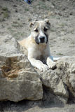 Chiot caucasien de berger Photographie stock libre de droits