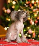 Chiot crêté chinois de chien regardant loin Photographie stock