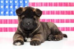 Chiot d'Akita d'Américain sur le fond de drapeau des USA photographie stock