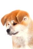 Chiot d'Akita-inu Photographie stock libre de droits