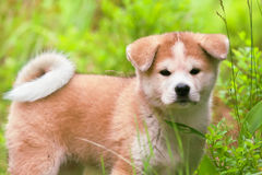 Chiot d'Akita Inu de Japonais, haut étroit de chien Photo libre de droits