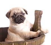 Chiot d'animal de race de roquet Images stock