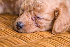 Chiot d'animal familier de sommeil, caniche Image libre de droits