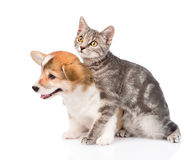 Chiot d'embrassement Pembroke Welsh Corgi de chat D'isolement sur le blanc Photos stock