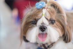 Chiot d'espèces de chien de ` de Shih-tzu de ` d'animal familier images stock