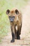 Chiot d'hyène Images stock