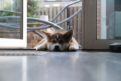 Chiot d'inu d'Akita Photographie stock libre de droits