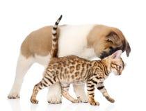 Chiot d'inu d'Akita de Japonais jouant avec le petit chat du Bengale Photos libres de droits