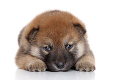 Chiot d'Akita-inu Photo stock