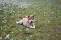 Chiot d'inu de shiba de champ d'été Photographie stock