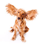 Chiot d'isolement Photographie stock