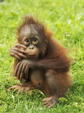Chiot d'orang-outan Image stock